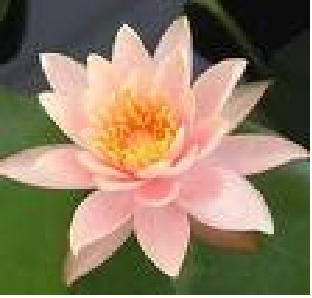 light pink lotus