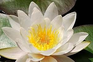 open white lotus